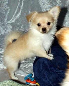 Solid cream smooth coat puppy