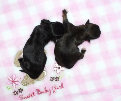 Solid sable, newborn Fannie May, on the right