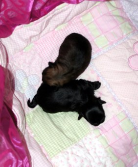 Solid sable, Fannie May, on top at 2 weeks
