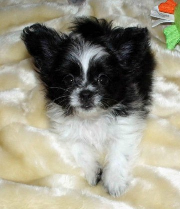 Black And White Parti Long Coat Puppy