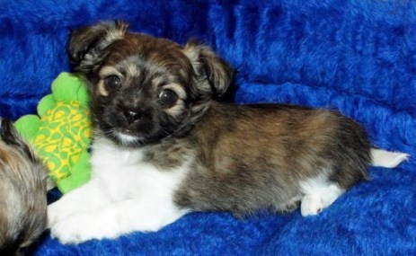 Brindle And White Smooth Coat Puppy