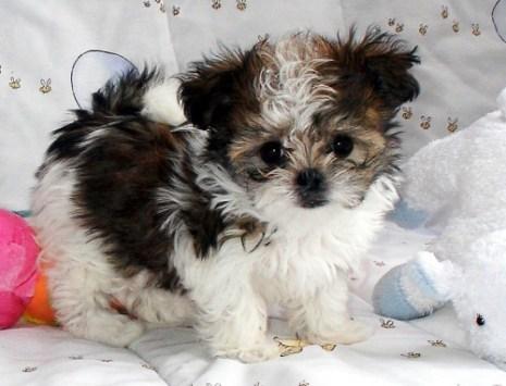 Mi-Ki Puppy With Parti Spotting Pattern