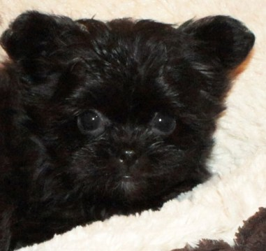 Solid Black Mi-Ki Puppy