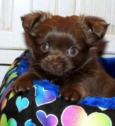 Solid Chocolate Smooth Coat Mi-Ki Puppy