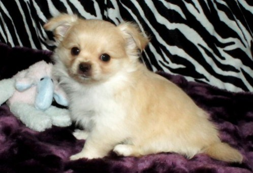 Solid smooth coat Mi-Ki puppy with winged or folded ears
