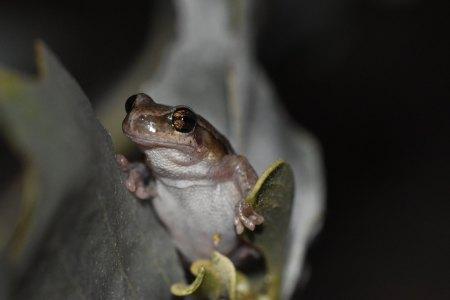 desert tree frog2