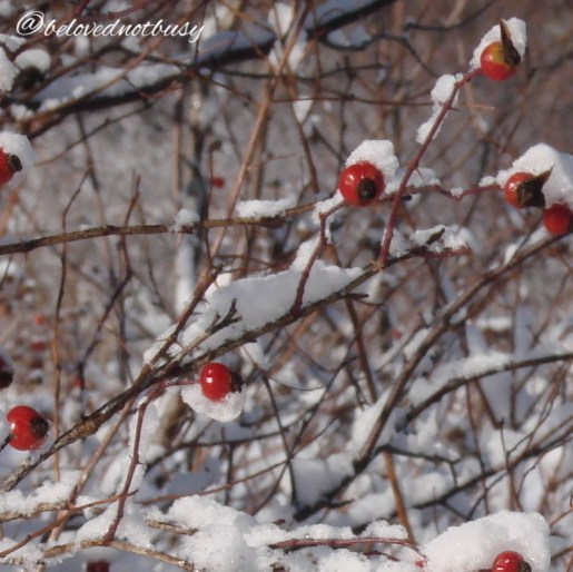 Hawthorn berries in the newly fallen snow.