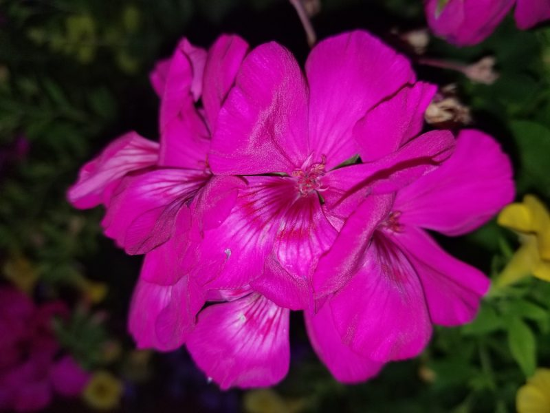 The Power of Negative Framing - Photo of Pink Geranium by Belynda Wilson Thomas