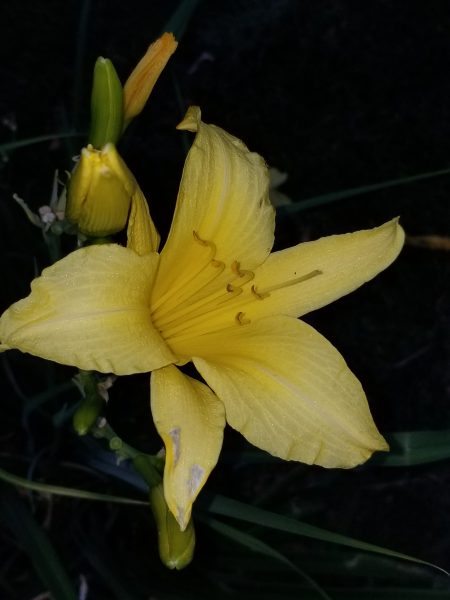 Posted to blog Sept 2, 2018 Yellow Day Lilly