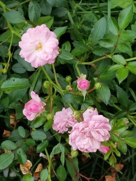 Photo of pink roses by Belynda Wilson Thomas