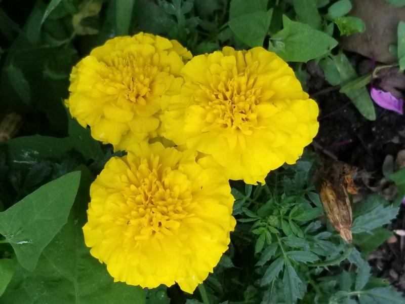 Photo of three marigolds by Belynda Wilson Thomas