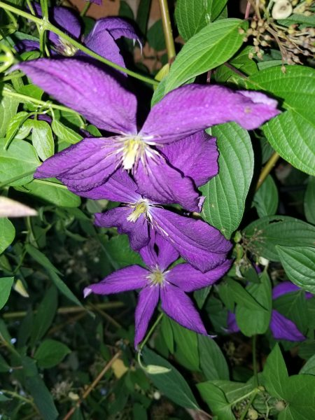 Clear Your Clutter Clear Your Mind - Photo of clematis by Belynda Wilson Thomas