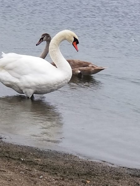Photo of two swans by Belynda Wilson Thomas