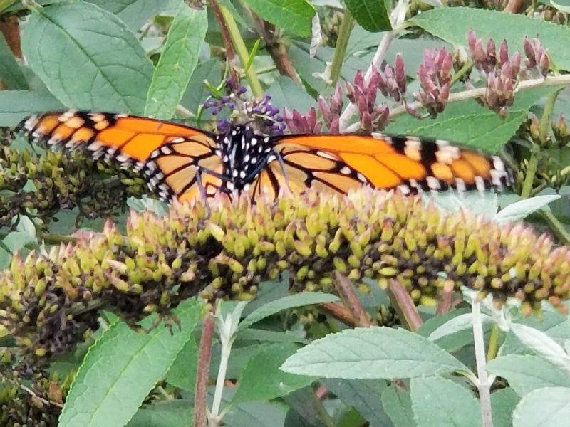 An Attitude of Gratitude - butterfly photo taken by Belynda Wilson Thomas
