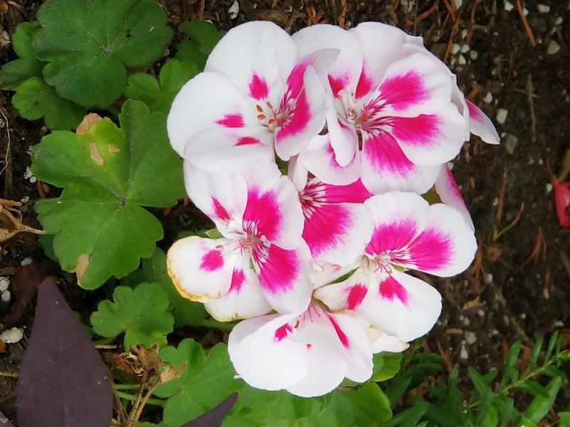 Photo of Geranium by Belynda Wilson Thomas
