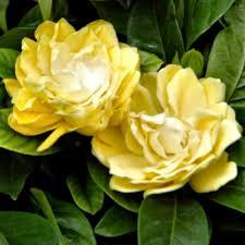 Yellow Gardenias stock photo