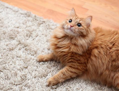 dica carpete gatos