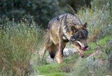 Photo of COAG Zamora exige que se controle a los lobos que causan bajas en las explotaciones ganaderas