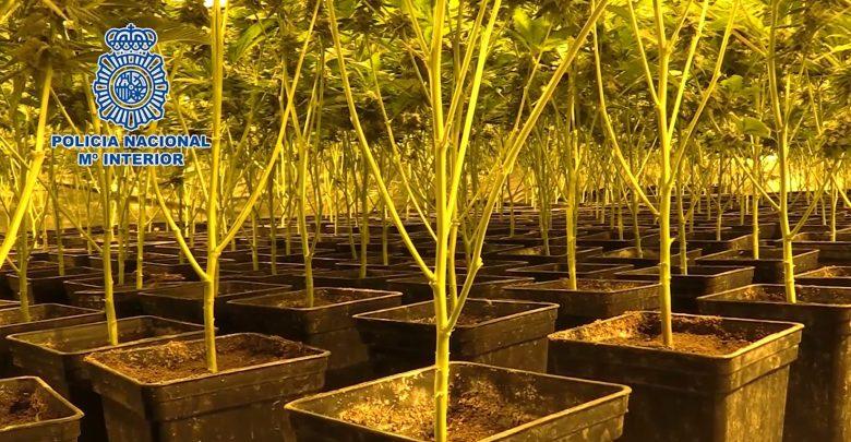 Photo of Más de 800 arrestados por el cultivo y el tráfico ilícito de marihuana