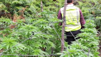 Photo of Incautación de plantación de marihuana con dos detenidos en la Sierra de la Culebra