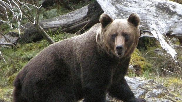 Photo of El día Internacional del Medio Ambiente se celebra con la presencia del oso en Sanabria