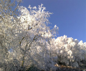 Frost clinging to branches