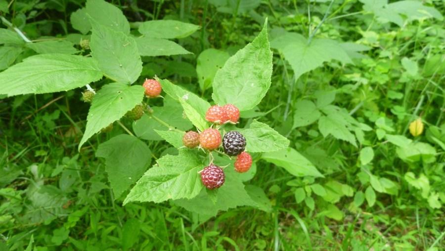 wild berries image