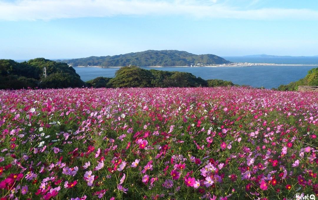 Nokonoshima, au pays des cosmos