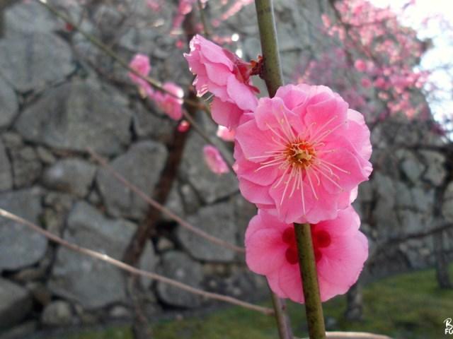 Ume no hana, le printemps arrive doucement