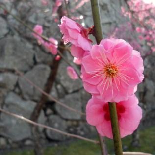 Floraison des pruniers, parc Maizuru, Fukuoka