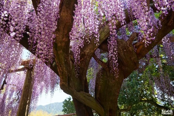 Le jardin Kawachi Fuji-en, Kita-Kyûshû, Fukuo