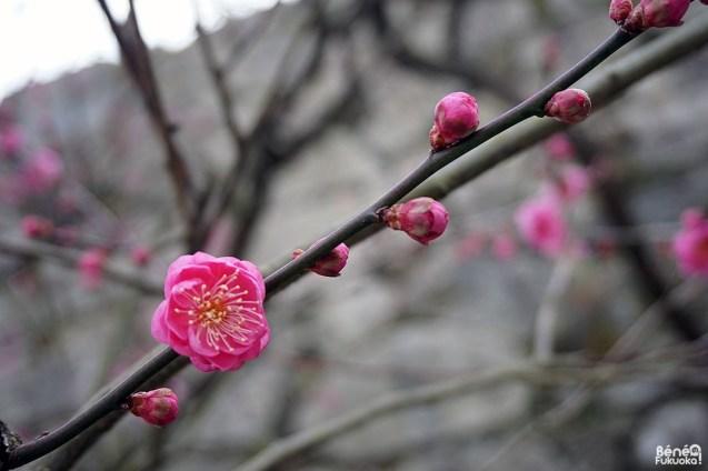 Fleurs de pruniers, parc Maizuru, Fukuoka