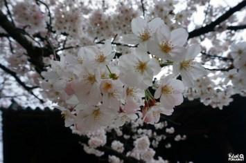 Cerisiers à Fukuoka