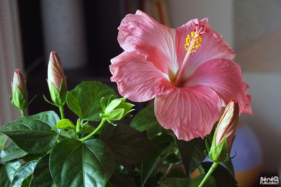 Hibiscus dans mon salon