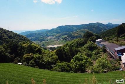 Champs de thé à Higahi Sonogi, préfecture de Nagasaki