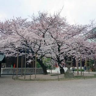 Le cerisier du temple Tôchô-ji, Fukuoka