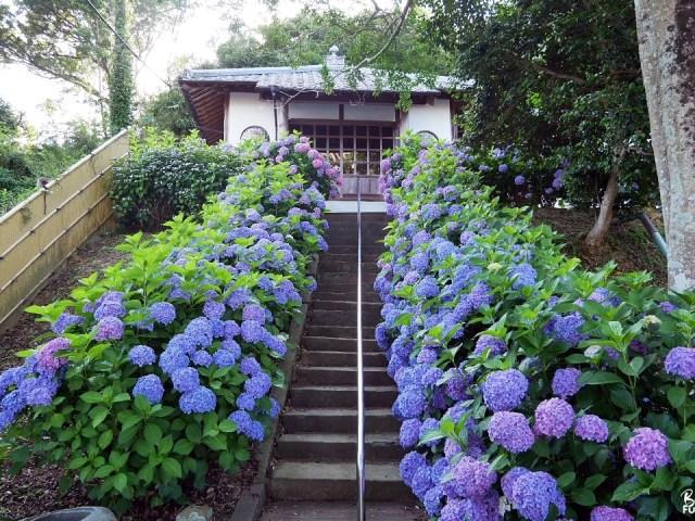 [Itoshima] Nuances de violet au temple Dainichi-ji