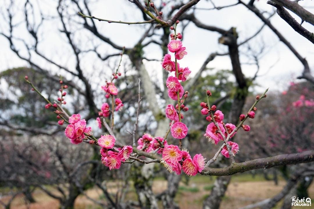 Les pruniers du parc Kofuji Bairin, ville de Yame, Fukuoka