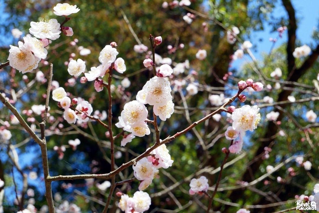 Les pruniers du parc Yume Tachibana, ville de Yame, Fukuoka