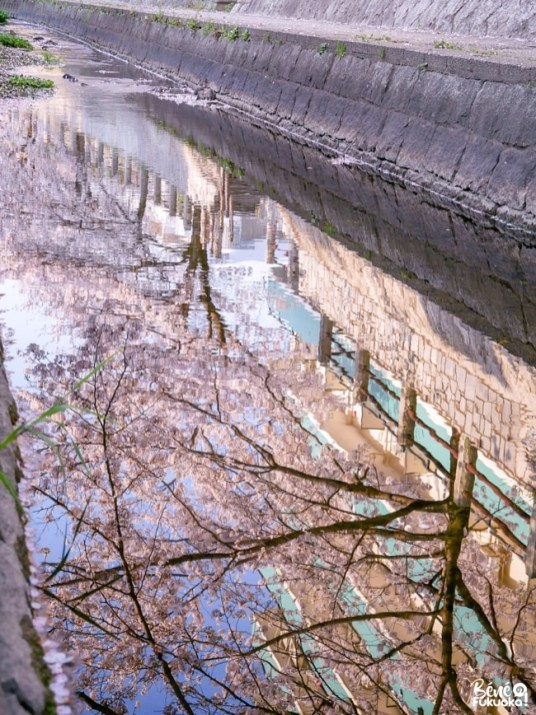 Reflet des cerisiers dans l'au, Fukuoka