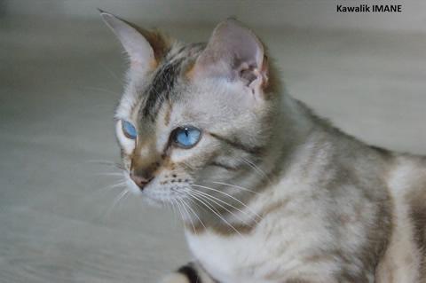 chat adulte retraité, Kawalik bengal