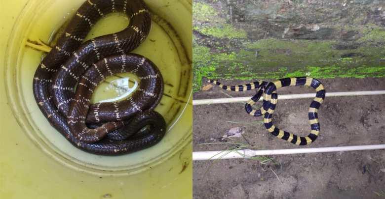 kalach snake is now panic in raiganj