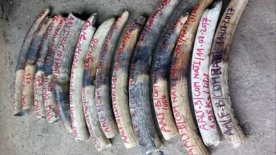 Photo of 59 morceaux d'ivoire pesant 183 kilogrammes saisis par la police républicaine