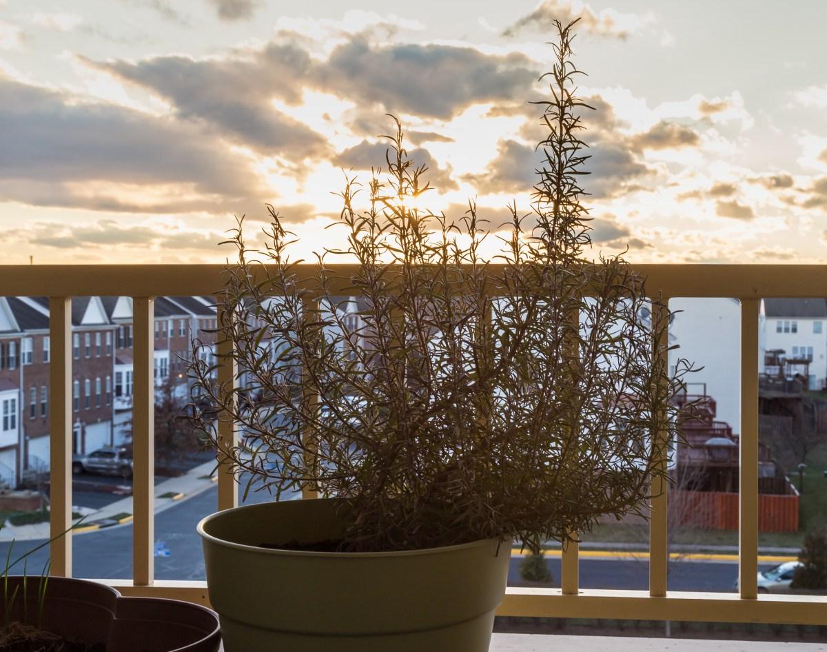 rosemary on a balcony at sunset