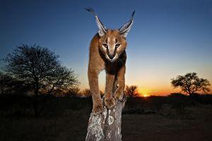 AAN-Benny-Rebel-Fotoreise-Suedafrika-KarakalLuchs