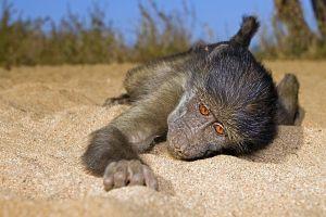 AAQ-Benny-Rebel-Fotoreise-Suedafrika-Pavian
