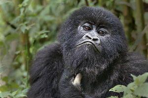 AAY-Benny-Rebel-Fotoreise-Berg-GorillaRuanda
