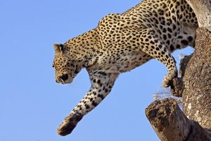 ABK-Benny-Rebel-Fotoreise-Suedafrika-Leopard