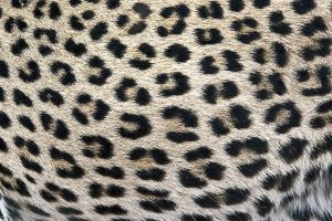 ACP-Benny-Rebel-Fotoworkshop-Leopard-Suedafrika