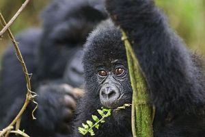 AED-Benny-Rebel-Fotoreise-Berg-GorillaRuanda
